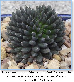 Sinocrassula yunnanensis Succulent potted Home Garden Bonsai beautiful plants A